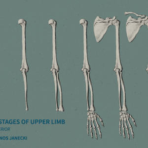 Six Stages of the Upper Limb. Digital drawing by Janos Janecki