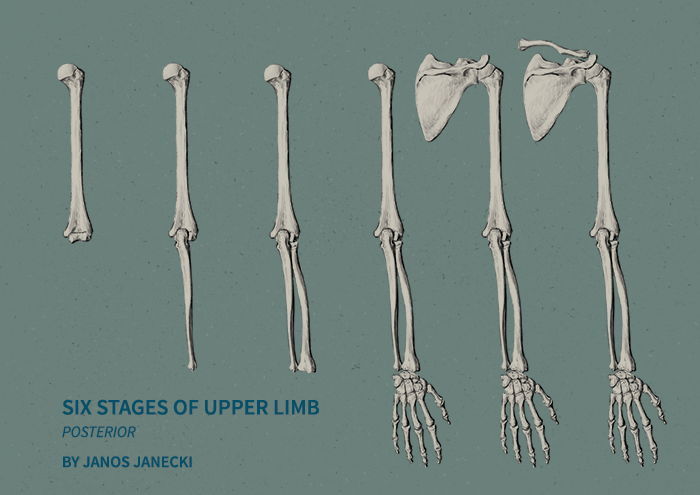 Six Stages of Upper Limb. Digital drawing by Janos Janecki